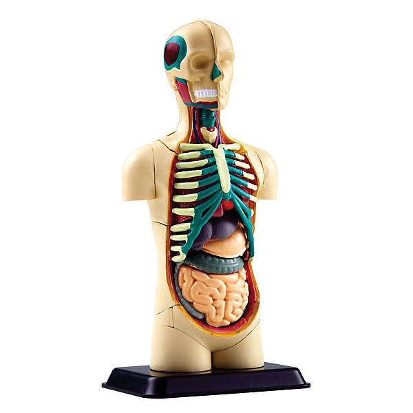 Анатомический набор Торс, Edu-ToysАнатомия<br>Анатомический набор Торс, Edu-Toys - реалистичная модель человеческого тела познакомит Вашего ребенка с анатомией и внутренними органами человека. Из входящих в набор деталей нужно предварительно собрать макет согласно инструкции. На готовом макете, точной копии внутреннего строения тела, представлены части тела, кости, внутренние органы, среди которых сердце, желудок и печень, толстый и тонкий кишечник, грудная клетка, череп. Пособие в наглядной форме поможет ребенку получить ответы на все свои вопросы о том, что находится внутри человека и освоить основные принципы строения организма. <br><br>Дополнительная информация:<br><br>- В комплекте: 32 детали, инструкция.<br>- Материал: пластик.<br>- Высота макета: 12,7 см.<br>- Размер упаковки: 18 х 5 х 23 см.<br>- Вес: 0,21 кг.<br><br>Анатомический набор Торс, Edu-Toys, можно купить в нашем интернет-магазине.<br>Ширина мм: 150; Глубина мм: 50; Высота мм: 210; Вес г: 210; Возраст от месяцев: 96; Возраст до месяцев: 144; Пол: Унисекс; Возраст: Детский; SKU: 4013722;