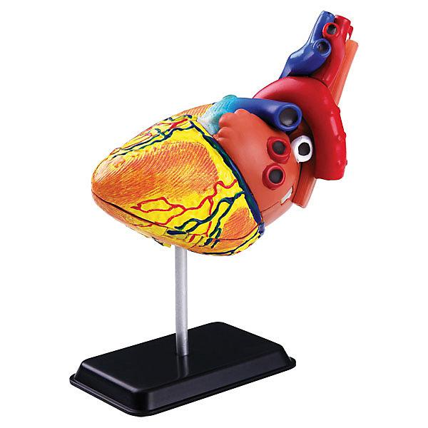 Анатомический набор Сердце, Edu-ToysАнатомия<br>Анатомический набор Сердце, Edu-Toys - эта реалистичная модель человеческого сердца познакомит Вашего ребенка с одним из главных органов человеческого тела, его устройством и функционированием. Из входящих в набор деталей нужно предварительно собрать макет согласно инструкции. Все детали пронумерованы, так что детям не составит труда разобраться со строением сердца и быстро усвоить материал. <br><br>Дополнительная информация:<br><br>- В комплекте: 31 деталь, инструкция.<br>- Материал: пластик.<br>- Высота макета: 14 см.<br>- Размер упаковки: 15 х 5 х 21 см.<br>- Вес: 0,21 кг.<br><br>Анатомический набор Сердце, Edu-Toys, можно купить в нашем интернет-магазине.<br>Ширина мм: 150; Глубина мм: 50; Высота мм: 210; Вес г: 210; Возраст от месяцев: 96; Возраст до месяцев: 144; Пол: Унисекс; Возраст: Детский; SKU: 4013723;