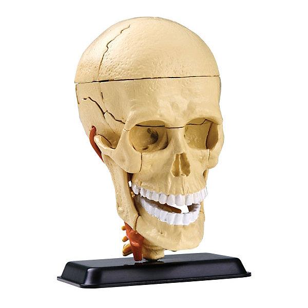 Анатомический набор Череп, Edu-ToysАнатомия<br>Анатомический набор Череп, Edu-Toys - эта реалистичная модель человеческого черепа познакомит Вашего ребенка с одним из главных органов человеческого тела и его устройством. Модель которую предварительно нужно собрать из 39 деталей, выполнена в форме 4D-пазла и поможет ребенку легко понять изучаемый по анатомии материал. В набор деталей входят теменная, лобная и носовая кости, головной мозг и мозжечок, кровеносный сосуд, верхняя и нижняя челюсть, шейный позвонок и другие части черепа. В подробной инструкции помимо схемы сборки представлена познавательная информация по данной теме. Анатомический набор Череп сделает процесс обучения полезным, увлекательным и запоминающимся и будет интересен не только школьникам, но и всем любителям естественных наук.<br><br>Дополнительная информация:<br><br>- В комплекте: 39 деталей, инструкция.<br>- Материал: пластик.<br>- Высота макета: 9 см.<br>- Размер подставки: 6 х 4 см.<br>- Размер упаковки: 18 х 5 х 23 см.<br>- Вес: 0,21 кг.<br><br>Анатомический набор Череп, Edu-Toys, можно купить в нашем интернет-магазине.<br>Ширина мм: 150; Глубина мм: 50; Высота мм: 210; Вес г: 210; Возраст от месяцев: 96; Возраст до месяцев: 144; Пол: Унисекс; Возраст: Детский; SKU: 4013724;