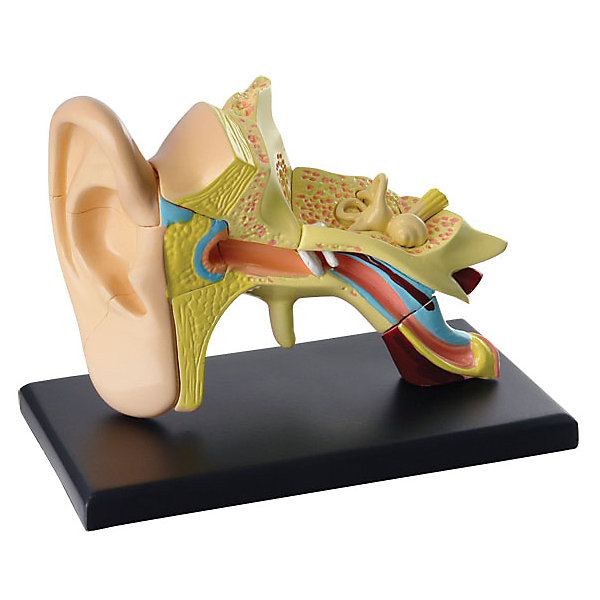 Анатомический набор Ухо, Edu-ToysАнатомия<br>Анатомический набор Ухо, Edu-Toys - эта реалистичная модель человеческого уха, которая познакомит Вашего ребенка с одним из важных органов человеческого тела, его устройством и функционированием. Из входящих в набор деталей нужно предварительно собрать макет согласно инструкции. Все детали пронумерованы, так что детям не составит труда разобраться со строением органа слуха и быстро усвоить материал. <br><br>Дополнительная информация:<br><br>- В комплекте: 14 деталей, инструкция.<br>- Материал: пластик.<br>- Высота макета: 7,7 см.<br>- Размер упаковки: 15 х 5 х 21 см.<br>- Вес: 0,21 кг.<br><br>Анатомический набор Ухо, Edu-Toys, можно купить в нашем интернет-магазине.<br>Ширина мм: 150; Глубина мм: 50; Высота мм: 210; Вес г: 210; Возраст от месяцев: 96; Возраст до месяцев: 144; Пол: Унисекс; Возраст: Детский; SKU: 4013725;