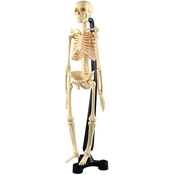 Сборная модель скелета, Edu-ToysАнатомия<br>Реалистичная сборная модель скелета, Edu-Toys познакомит Вашего ребенка со строением человеческого тела, его устройством и функционированием. Модель состоит из 20 деталей, собирая и разбирая которые, ребенок наглядно усвоит и запомнит строение скелета. Процесс сборки не представляет сложности, все детали пронумерованы, а<br>иллюстрированная инструкция содержит подробное руководство по сборке. Готовый макет прочно крепится к устойчивой удобной подставке. Пособие от Edu-Toys сделает процесс обучения полезным, увлекательным и запоминающимся и будет интересно не только школьникам, но и всем любителям естественных наук.<br><br>Дополнительная информация:<br><br>- В комплекте: 20 деталей, подставка, инструкция.<br>- Материал: пластик.<br>- Высота макета: 38 см.<br>- Размер упаковки: 40 х 19 х 7 см.<br>- Вес: 0,8 кг.<br><br>Сборную модель скелета, Edu-Toys, можно купить в нашем интернет-магазине.<br><br>Ширина мм: 406<br>Глубина мм: 190<br>Высота мм: 70<br>Вес г: 800<br>Возраст от месяцев: 96<br>Возраст до месяцев: 144<br>Пол: Унисекс<br>Возраст: Детский<br>SKU: 4013726