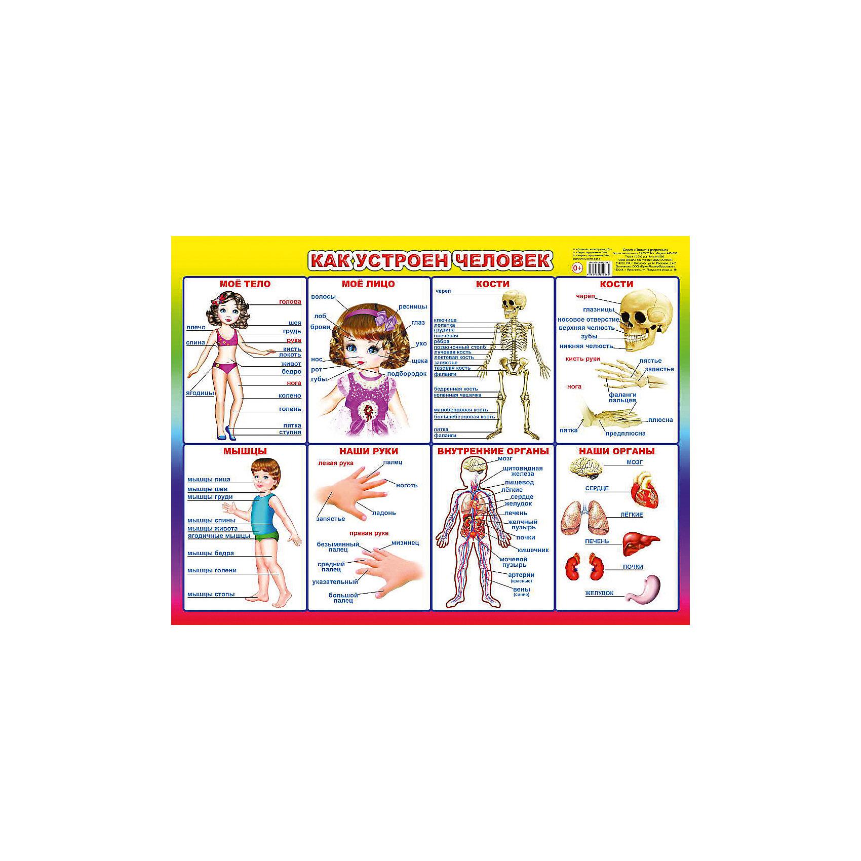 Плакат Как устроен человекПлакат Как устроен человек – это образовательный детский плакат, наглядно отображающий строение человеческого тела.<br>Красочно иллюстрированный плакат Как устроен человек познакомит малыша с анатомией человека. Иллюстрации наглядно показывают строение человеческого тела, и помогут вашему ребенку отлично понять, а главное запомнить, как же мы устроены. Занятия с плакатом развивает образное мышление, пополняет словарный запас, расширяет кругозор, воображение и восприятие.<br><br>Дополнительная информация:<br><br>- Иллюстрации: цветные<br>- Материал: картон<br>- Издательство: Слово А, Алфея, Леда<br>- Серия: Плакаты разрезные<br>- Размер: 44х59 см.<br><br>Плакат Как устроен человек можно купить в нашем интернет-магазине.<br><br>Ширина мм: 440<br>Глубина мм: 2<br>Высота мм: 590<br>Вес г: 50<br>Возраст от месяцев: 12<br>Возраст до месяцев: 48<br>Пол: Унисекс<br>Возраст: Детский<br>SKU: 4591091