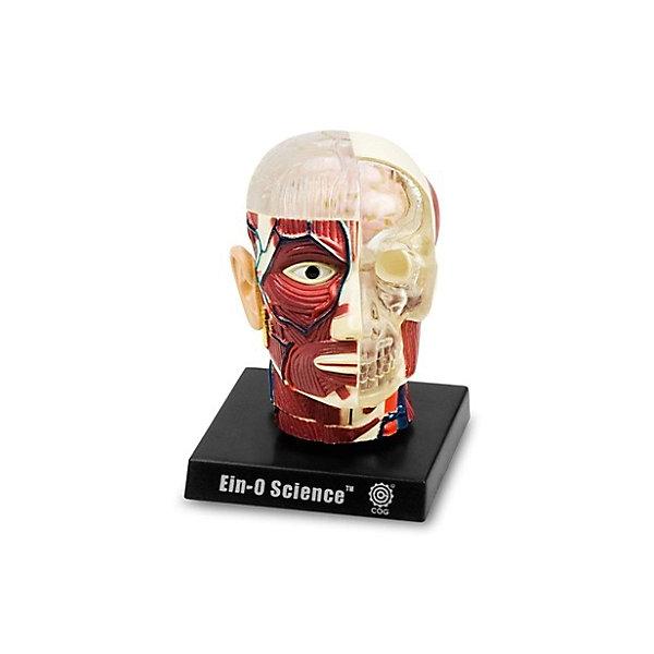 Мозг и череп, Профессор ЭйнАнатомия<br>Характеристики товара:<br><br>• цвет: разноцветный<br>• размер упаковки: 9 x 9 x 10 см<br>• вес: 400 г<br>• комплектация: модель черепа и мозга, основа с подставкой, инструкция на русском языке<br>• возраст: от семи лет<br>• упаковка: коробка<br>• страна бренда: Китай<br>• страна изготовитель: Китай<br><br>Изучать науки можно весело! Такой набор станет отличным подарком ребенку - ведь с помощью него можно узнать столько нового и интересного о теле человека. В набор входит модель черепа и мозга, она отлично детализирована. Это отличный способ изучать анатомию!<br>Увлечение такими познавательными наборами помогает детям развивать важные навыки и способности, оно активизирует мышление, формирует усидчивость, логику, мелкую моторику и воображение. Изделие производится из качественных и проверенных материалов, которые безопасны для детей.<br><br>Набор Мозг и череп от бренда Профессор Эйн можно купить в нашем интернет-магазине.<br><br>Ширина мм: 92<br>Глубина мм: 92<br>Высота мм: 105<br>Вес г: 386<br>Возраст от месяцев: 72<br>Возраст до месяцев: 168<br>Пол: Унисекс<br>Возраст: Детский<br>SKU: 5168528