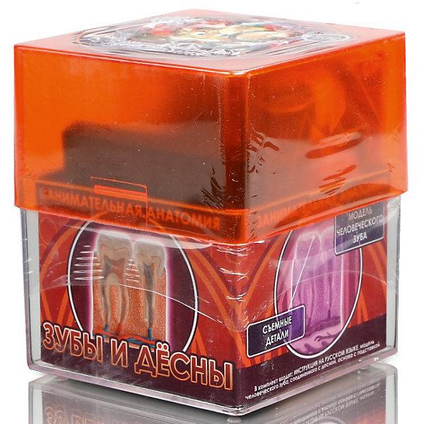Зубы и десна, Профессор ЭйнАнатомия<br>Характеристики товара:<br><br>• цвет: разноцветный<br>• размер упаковки: 9 x 9 x 10 см<br>• вес: 350 г<br>• комплектация: модель человеческого зуба, соединенного с десной, основа с подставкой<br>• возраст: от семи лет<br>• упаковка: коробка<br>• страна бренда: Китай<br>• страна изготовитель: Китай<br><br>Изучать науки можно весело! Такой набор станет отличным подарком ребенку - ведь с помощью него можно узнать столько нового и интересного о теле человека. В набор входит модель человеческого зуба, соединенного с десной, она разборная и отлично детализирована. Это отличный способ изучать анатомию!<br>Увлечение такими познавательными наборами помогает детям развивать важные навыки и способности, оно активизирует мышление, формирует усидчивость, логику, мелкую моторику и воображение. Изделие производится из качественных и проверенных материалов, которые безопасны для детей.<br><br>Набор Зубы и десна от бренда Профессор Эйн можно купить в нашем интернет-магазине.<br><br>Ширина мм: 92<br>Глубина мм: 92<br>Высота мм: 105<br>Вес г: 355<br>Возраст от месяцев: 72<br>Возраст до месяцев: 168<br>Пол: Унисекс<br>Возраст: Детский<br>SKU: 5168532