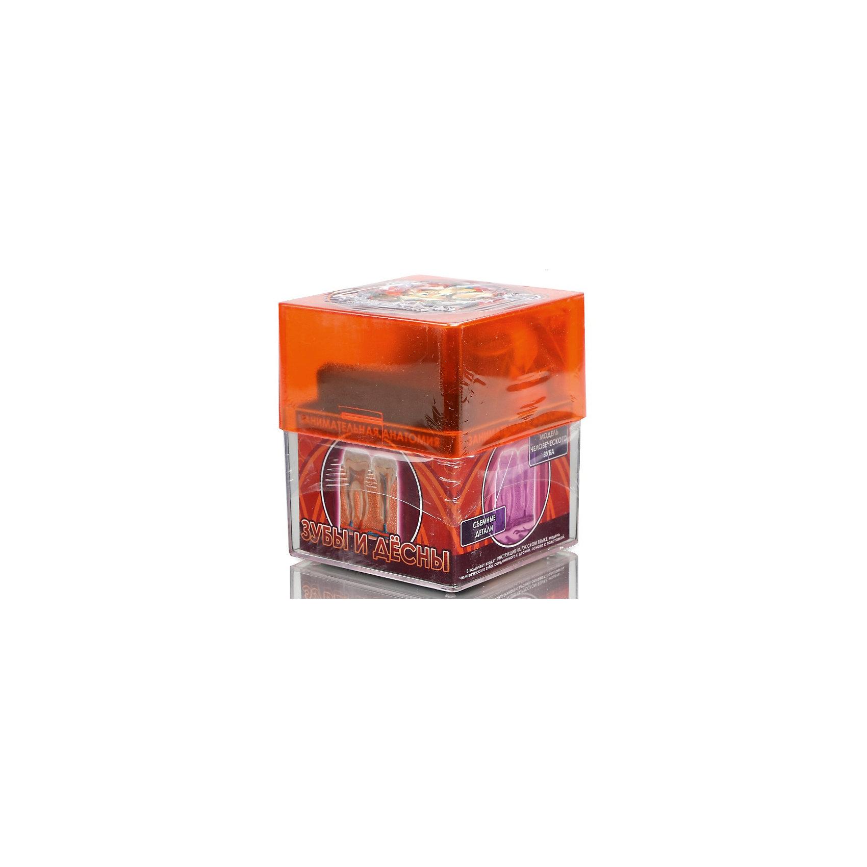 Зубы и десна, Профессор ЭйнЭксперименты и опыты<br>Характеристики товара:<br><br>• цвет: разноцветный<br>• размер упаковки: 9 x 9 x 10 см<br>• вес: 350 г<br>• комплектация: модель человеческого зуба, соединенного с десной, основа с подставкой<br>• возраст: от семи лет<br>• упаковка: коробка<br>• страна бренда: Китай<br>• страна изготовитель: Китай<br><br>Изучать науки можно весело! Такой набор станет отличным подарком ребенку - ведь с помощью него можно узнать столько нового и интересного о теле человека. В набор входит модель человеческого зуба, соединенного с десной, она разборная и отлично детализирована. Это отличный способ изучать анатомию!<br>Увлечение такими познавательными наборами помогает детям развивать важные навыки и способности, оно активизирует мышление, формирует усидчивость, логику, мелкую моторику и воображение. Изделие производится из качественных и проверенных материалов, которые безопасны для детей.<br><br>Набор Зубы и десна от бренда Профессор Эйн можно купить в нашем интернет-магазине.<br><br>Ширина мм: 92<br>Глубина мм: 92<br>Высота мм: 105<br>Вес г: 355<br>Возраст от месяцев: 72<br>Возраст до месяцев: 168<br>Пол: Унисекс<br>Возраст: Детский<br>SKU: 5168532