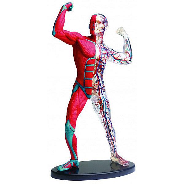 Edu-Toys Анатомический набор Edu-Toys, 38 деталей edu toys el150 паук р у