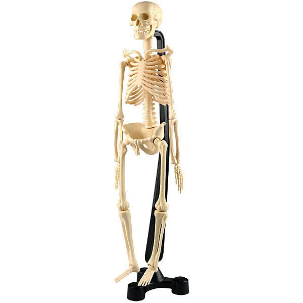 Купить Анатомический набор Edu Toys Скелет, 46 см, Edu-Toys, Китай, Унисекс