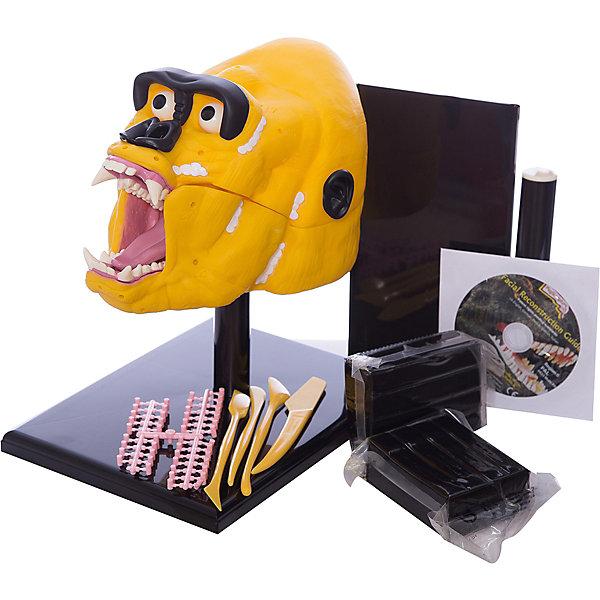 Творческий набор Горилла, Edu-ToysНаборы для лепки игровые<br>Творческий набор Горилла, Edu-Toys - оригинальный набор для творчества, который надолго увлечет Вашего ребенка. В состав набора входит модель черепа гориллы, на который надо нанести массу для моделирования с помощью инструментов скульптора, а затем дополнить его пластиковыми деталями. Итогом работы юного скульптора станет реалистичная модель головы гориллы. Набор развивает мелкую моторику рук, усидчивость и терпение, тактильные чувства и художественное воображение.<br><br>Дополнительная информация:<br><br>- В комплекте: череп с мышцами, стенд, масса для моделирования (900 гр.), инструменты скульптора, готовые детали из пластика (глаза, уши, нос), обучающая программа на<br>  DVD.<br>- Материал: пластик, пластилин.<br>- Размер упаковки: 26 х 21 х 21 см.<br>- Вес: 1,2 кг.<br><br>Творческий набор Горилла, Edu-Toys, можно купить в нашем интернет-магазине.<br>Ширина мм: 260; Глубина мм: 210; Высота мм: 210; Вес г: 2100; Возраст от месяцев: 96; Возраст до месяцев: 144; Пол: Унисекс; Возраст: Детский; SKU: 4013737;